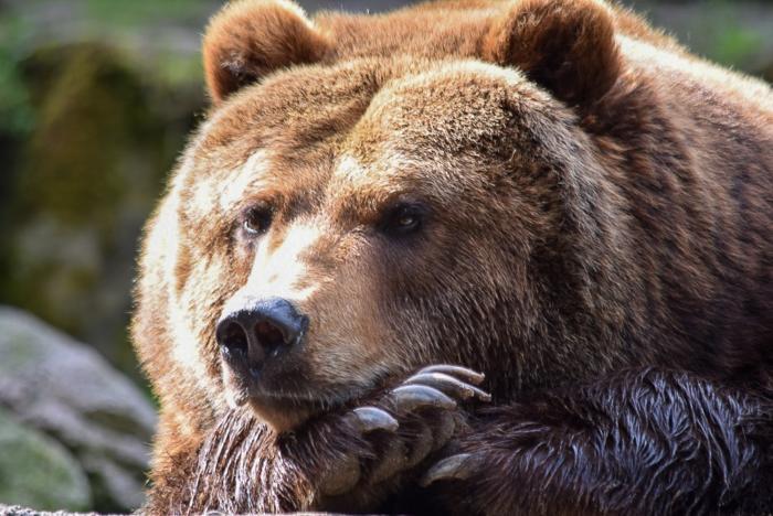 Bär (1)