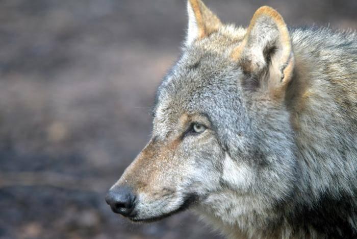 Wölfe (72)