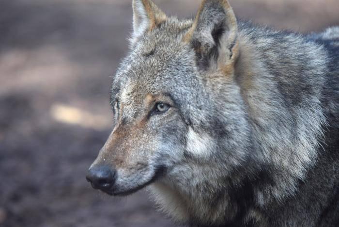 Wölfe (73)