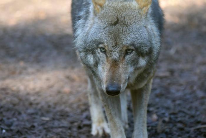Wölfe (74)