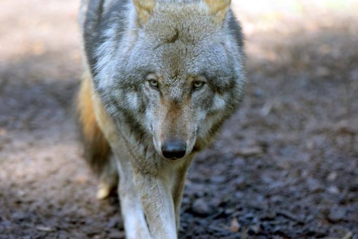 Wölfe (75)